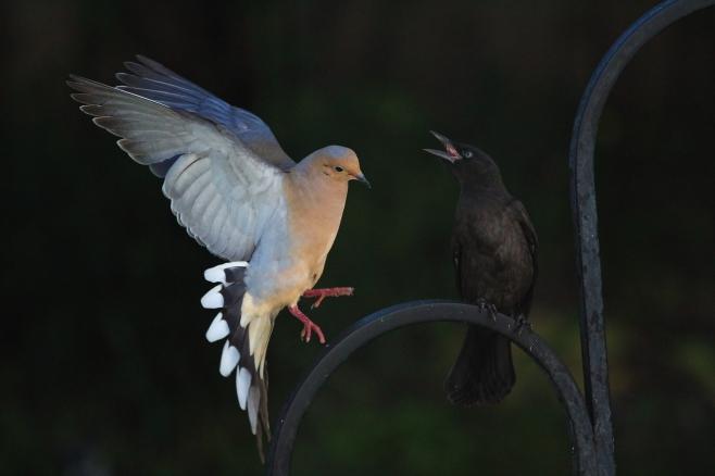 IMG_7939 Dove & Grackle