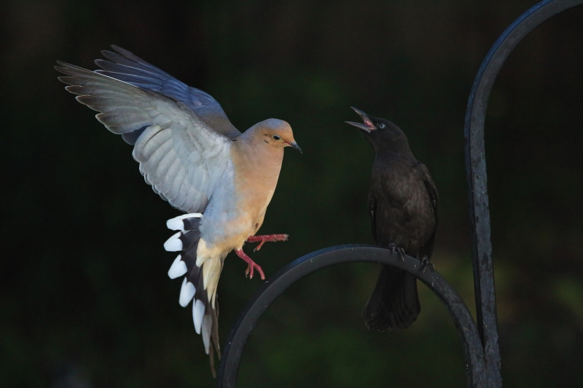 IMG_7939 Dove & Grackle