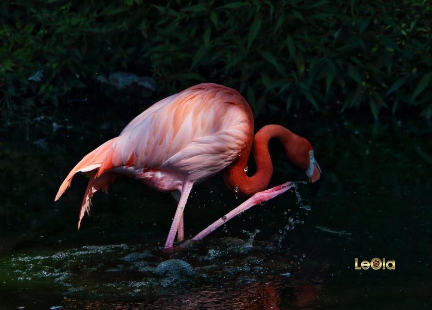 29-flamingoa