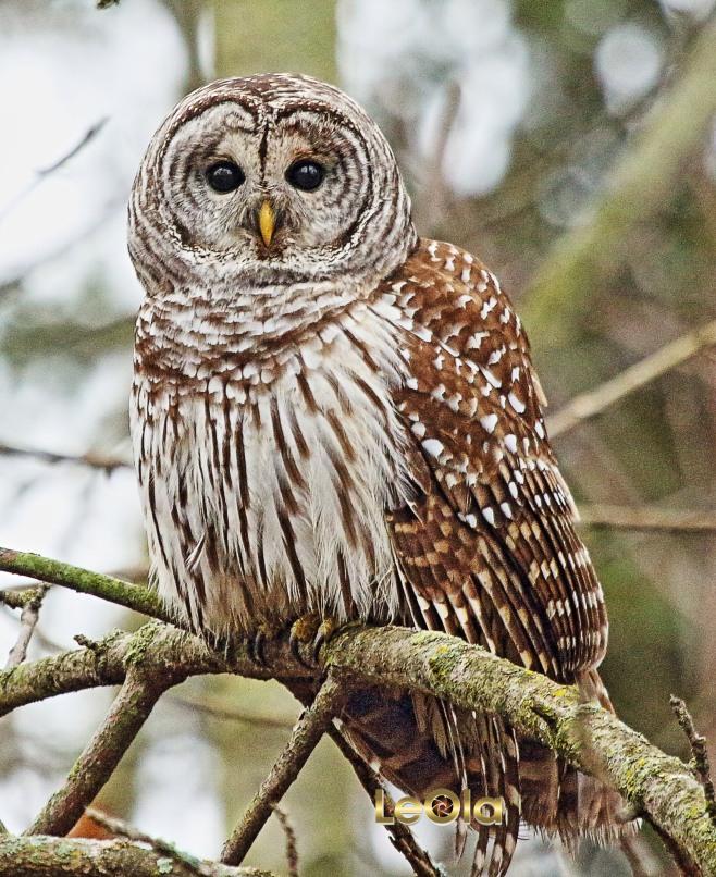 img_3755-barred-owl-copy