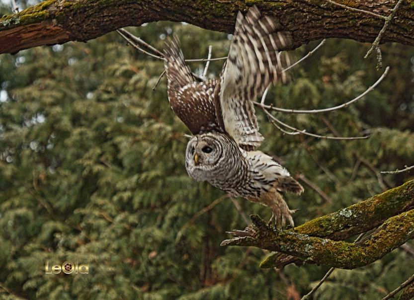 img_3859-barred-owl-a-copy