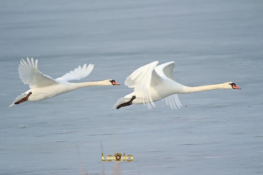 img_2672-swans_edited-1