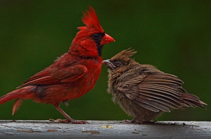 cardinal-6