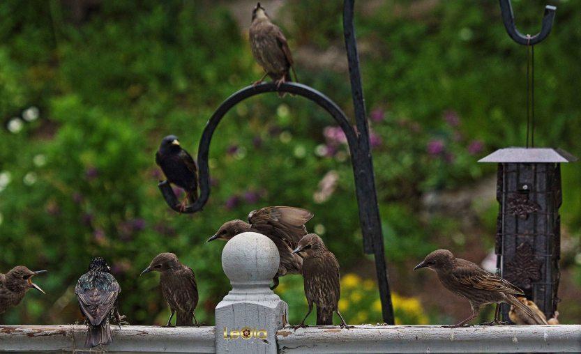 IMG_6942 Starlings copy