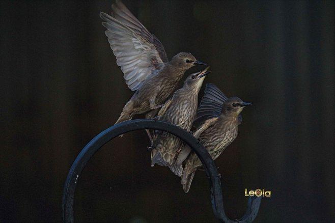 IMG_9056 Starlings copy.jpg