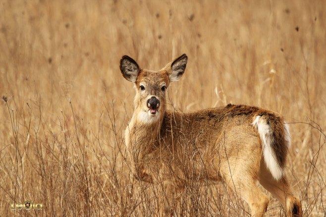 IMG_9213 Deer copy