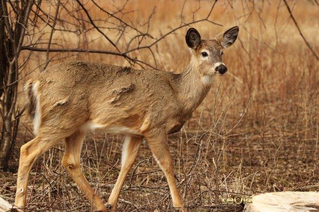 IMG_9380 Deer copy