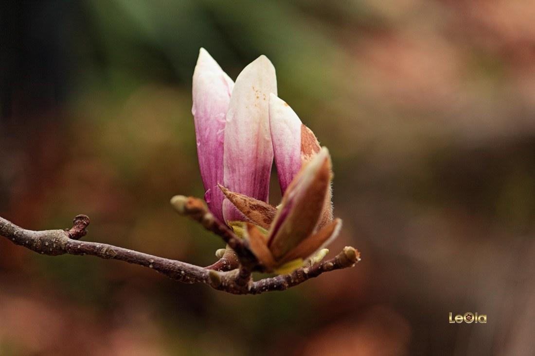 IMG_0353 Magnolia Blossoms copy