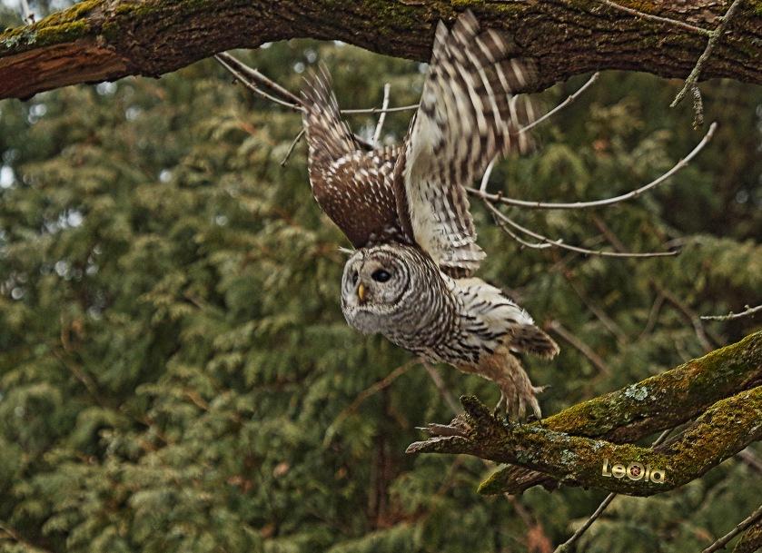 IMG_3859 Barred Owl a