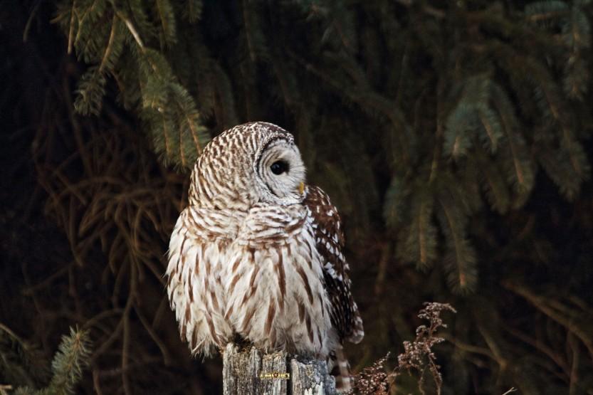 IMG_4116 Barred Owl copy