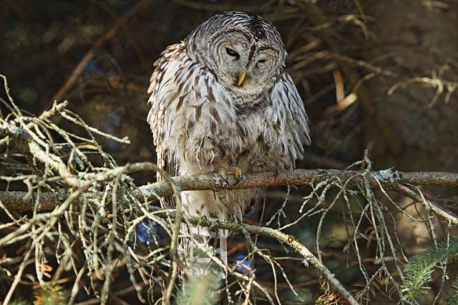 IMG_5532 Barred Owl copy.jpg