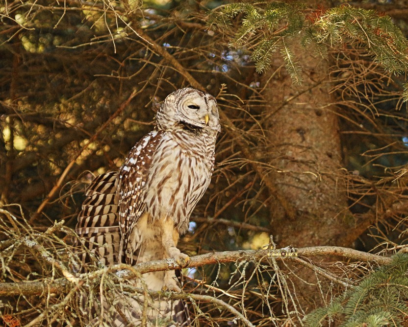 IMG_5713 Barred Owl copy