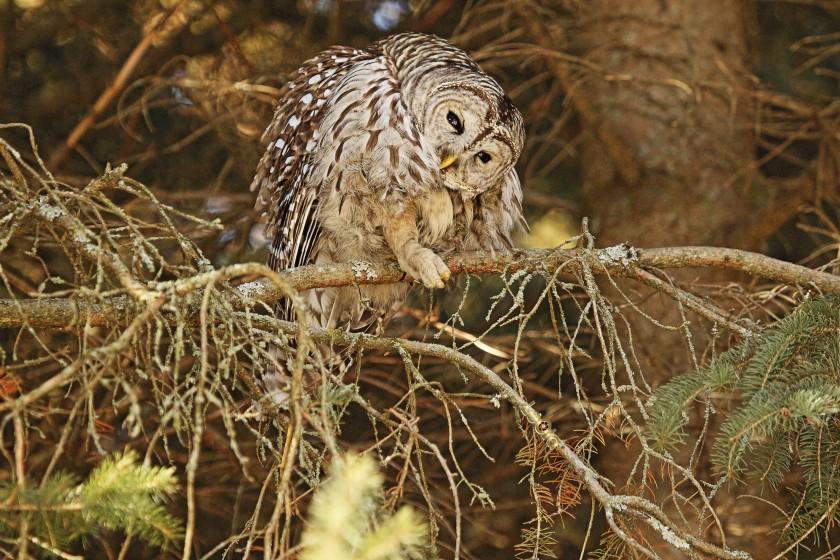 IMG_5733 Barred Owl copy.jpg