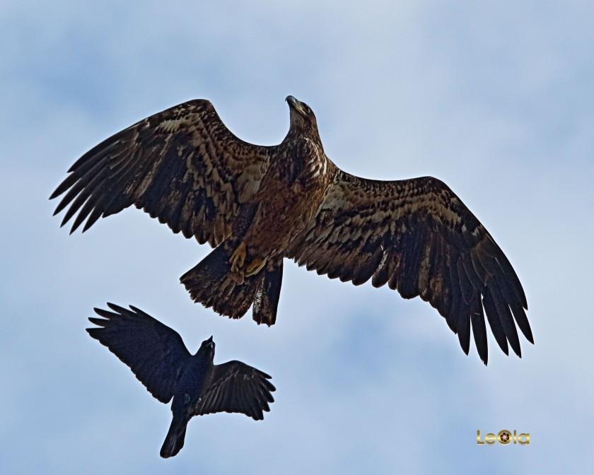 IMG_6175 Eagle a copy.jpg