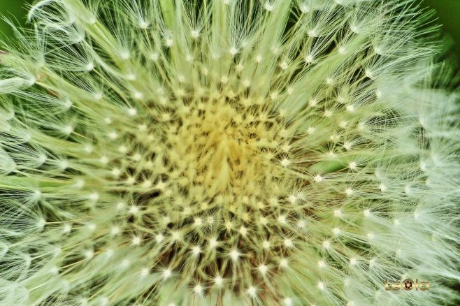 IMG_7530 Dandelion copy.jpg