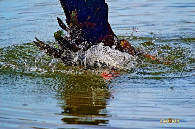 IMG_9357 Diving Muscovy copy.jpg