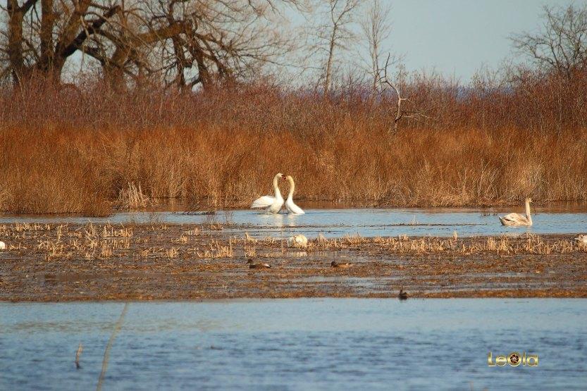 IMG_9712 Swans copy