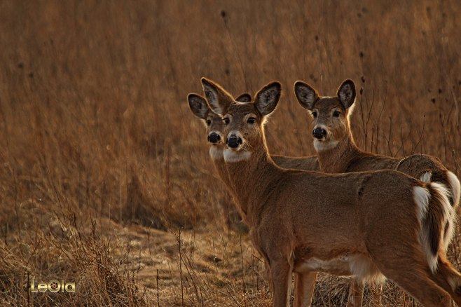 IMG_9941 Deer copy.jpg