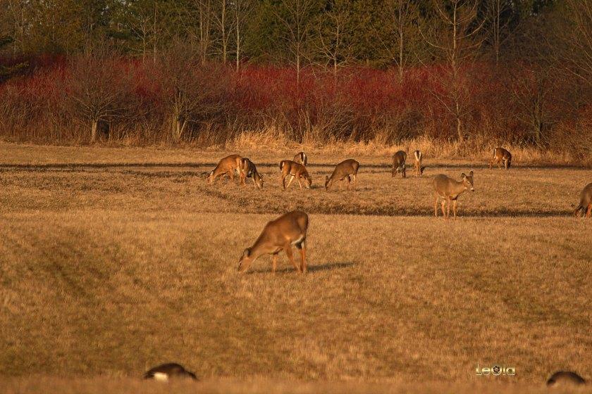 IMG_9988 Deer copy.jpg